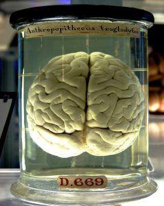 A chimp's brain in a jar at the Science Musem, London   Image: Gaetan Lee