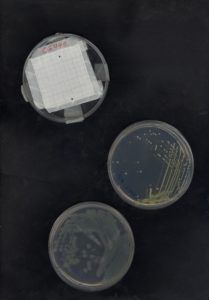 Agar plates with bacterial cultures