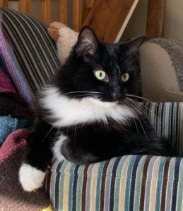 Black and white cat sitting looking over the arm of a chair