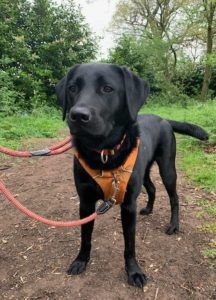 Black labrador dog wearing an orange harness, standing on a path in woodland.